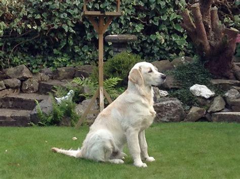 golden retriever house dog golden retriever house trained newcastle under lyme staffordshire pets4homes