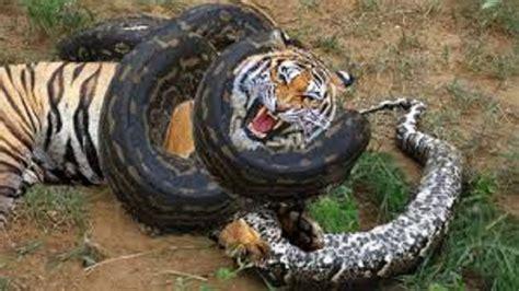 animals fighting wild animals fighting best animal attacks to death