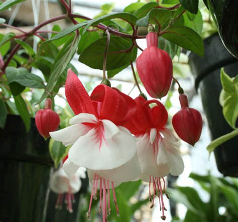 tanaman hias ragam informasi tanaman hias