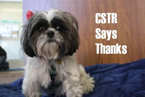 imperial shih tzu carolina shih tzu rescue carolina assistedlivingcares