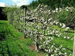 espalier training of fruit trees is fun but demanding