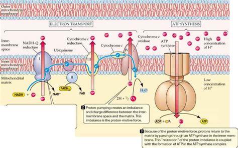 Generation Of Proton Gradients Across Membranes by Respiratory Chain Plasma Membrane 78 Steps Health Journal