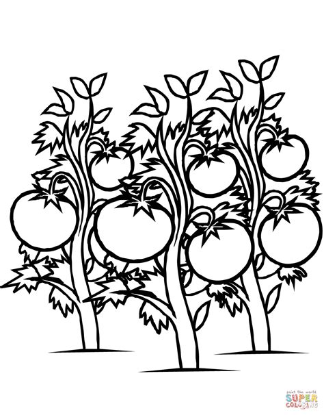 tomatoes plants coloring page free printable coloring pages