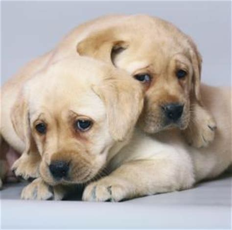 yellow lab puppy names yellow lab puppy names www pixshark images galleries with a bite