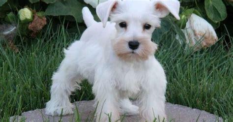havanese schnauzer mix puppies havanese schnauzer mix or just a schnauzer animals pets