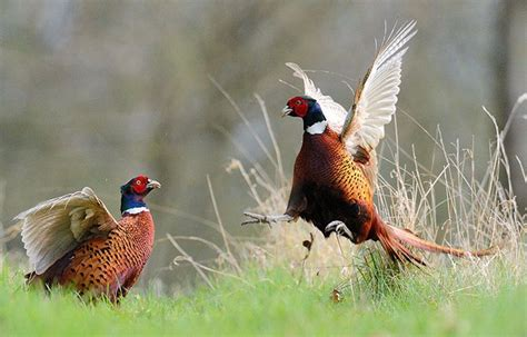 backyard pheasants 18 best images about animals birds pheasents on