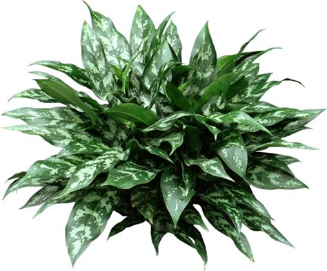 chinese evergreen plant houseplant care tips