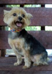 yorkie rescue vancouver 1000 images about adoptable yorkies on yorkie dogs terrier and
