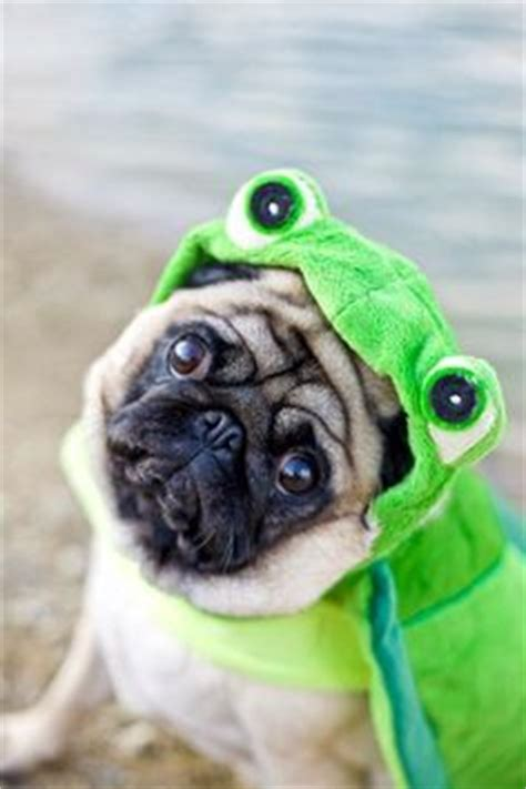 pug turtle 1000 images about pugs mega awesome dogs with powers on pug a