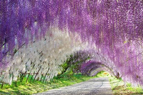 wisteria flower tunnel in japan 16 must see flower gardens around japan tsunagu japan