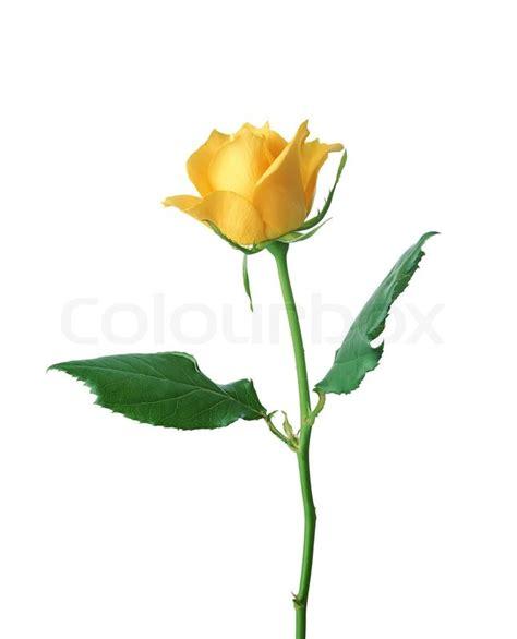 Single Stem Vase Sch 246 Ne Gelbe Rose Auf Wei 223 Em Hintergrund Stockfoto