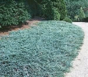 blue rug juniper okanagan xeriscape association