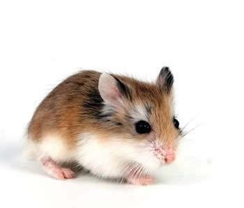 7 Tips On Taking Care Of Hamsters by Caring For A Hamster S Teeth Guidelines And Tips