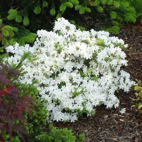 Azalea White azalea japonica pleasant white pack of three plants