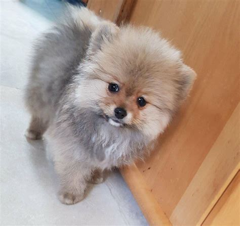 pomeranian for sale in colorado mini pomeranian www pixshark images galleries with a bite