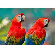 The Scarlet Macaw Ara Macao Is A Group Of Parrots Called Macaws Which