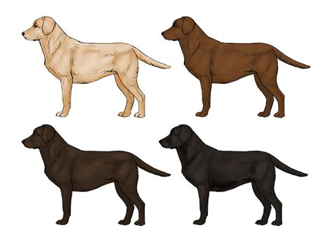 how to labrador how to draw a details make the difference