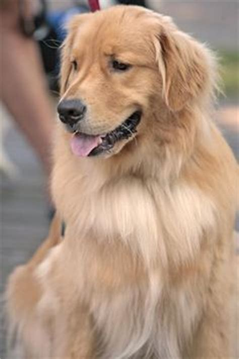 golden retriever therapy dogs therapy visit pictures on