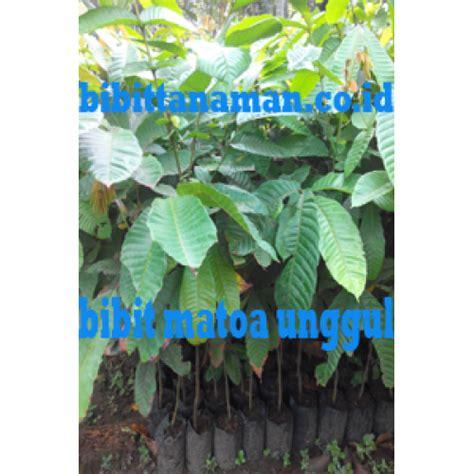 Jual Bibit Tanaman Matoa Kaskus jual bibit tanaman unggul murah di purworejo