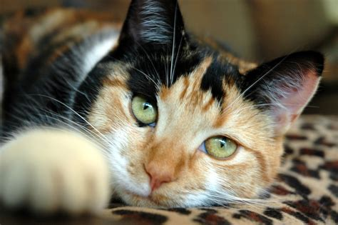 cat in are calicos tops in catitude life with cats