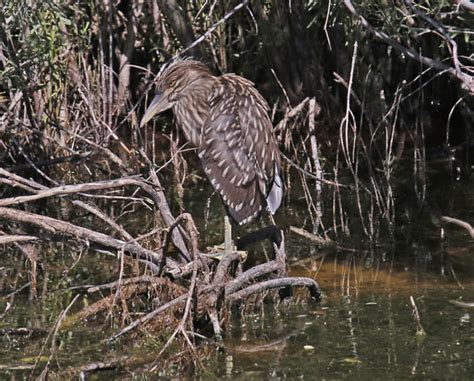 front side back juvenile juv back eating close ups close ups 2 flying black crowned night heron