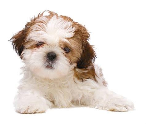 perros miniatura shih tzu las razas de perros peque 241 os m 225 s famosas ent 233 rate ahora