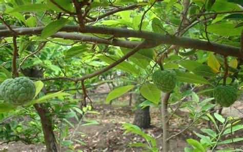 custard apple fruit tree tropical fruit trees custard apple