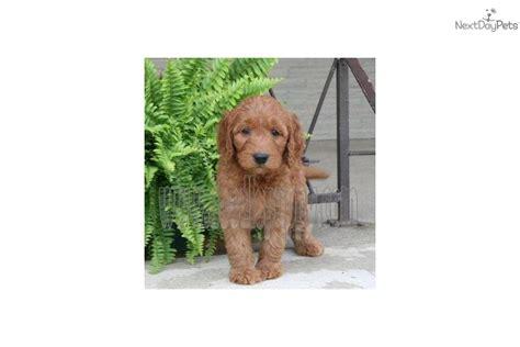 doodle puppy acres goldendoodle doodle puppy acres breeds picture