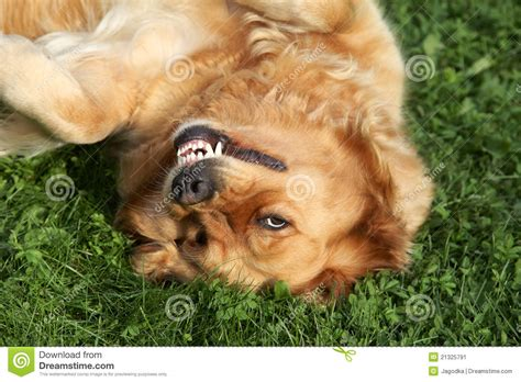 green golden retriever golden retriever lying on green grass stock image image 21325791