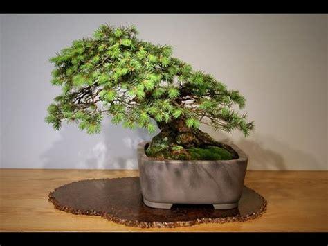 how do you bonsai christmas tree douglas fir bonsai tree