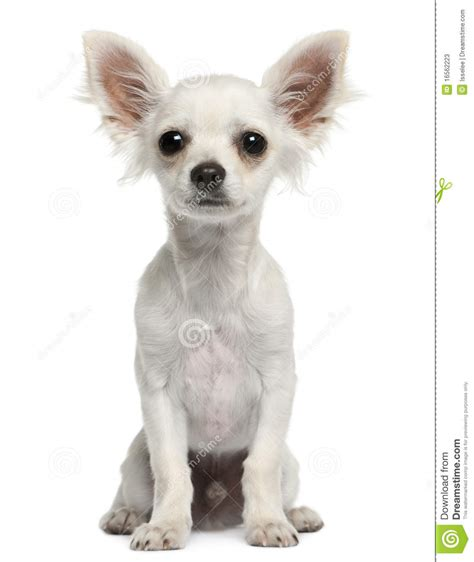 4 month puppy chihuahua puppy 4 months sitting stock photos image 16562223