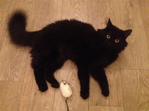 black fluffy black fluffy cat
