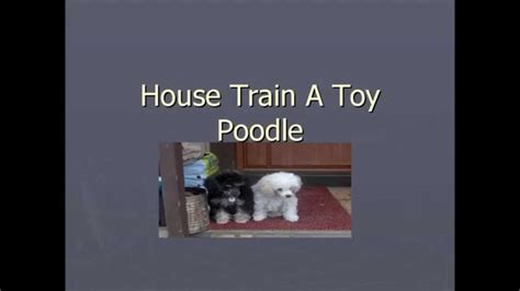 how long does it take to house train a dog house train a toy poodle how long does it take to house train a toy poodle youtube