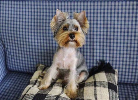 boy yorkie haircuts yorkie haircuts 100 terrier hairstyles pictures yorkiemag
