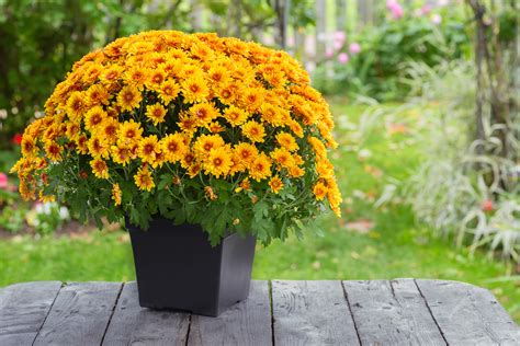 potted chrysanthemum care in winter to keep it alive chrysanthemums org