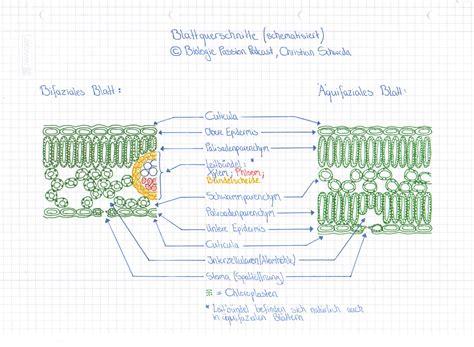 Beschriftung Querschnitt Laubblatt by Folge 006 Der Aufbau Des Laubblattes Der Blattquerschnitt