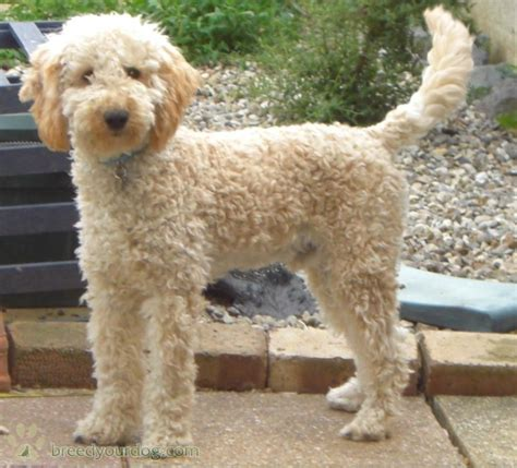 pictures of different types of poodle hair cuts stud dog apricot miniature poodle breed your dog