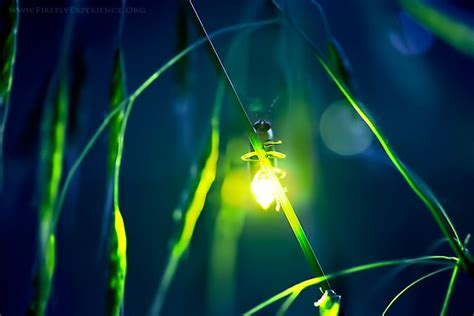 What Makes A Lightning Bug Light Up by Firefly Experience Photographs Of Lightning Bugs And