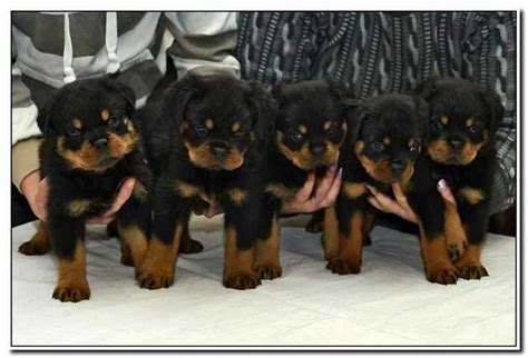 german rottweiler puppies for sale in uk adorable and breed german rottweiler puppies for sale adoption from leeds