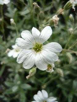 tende da cer riconoscimento fiore wikibotanica