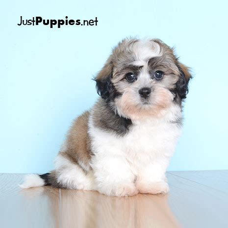 puppies orlando fl puppies for sale orlando fl justpuppies net