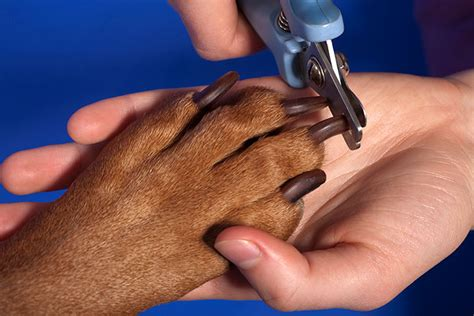 how to clip nails when is scared of how to clip your pet s nails