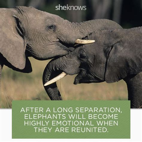 8 Facts On Elephants by Best 25 Elephant Facts Ideas On Elephants