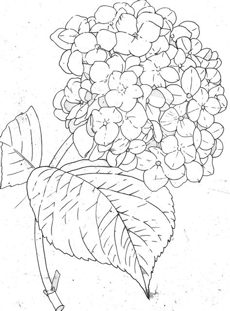 pages images hydrangea line coloring book page fishcracker flickr