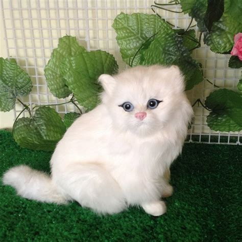 cat price 7 charming cat price range in cat biological