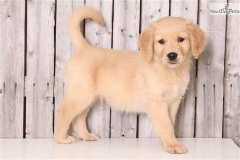 golden retriever puppies columbus ohio river golden retriever puppy for sale near columbus ohio 42113900 b571