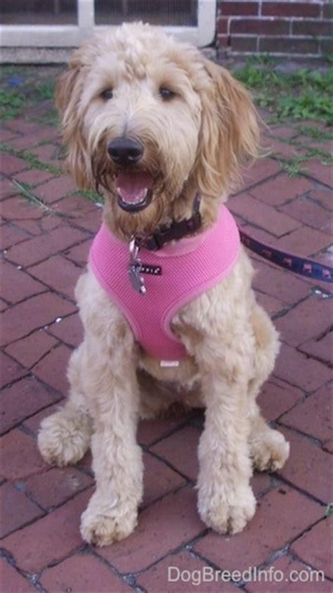 9 month golden retriever behavior goldendoodle breed pictures 1