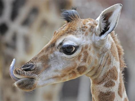 imagenes de jirafas bebés un beb 233 de jirafa toma contacto con un grupo de jirafas