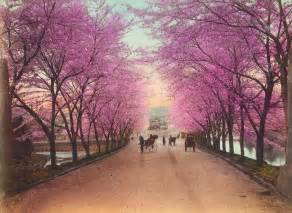 pictures of cherry blossom trees we love cherry tree sameoldlines