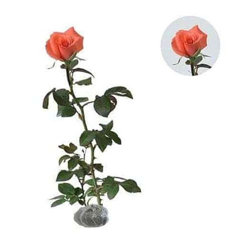 Jual Bibit Bunga Mawar Di Makassar jual tanaman mawar jingga orange bibit